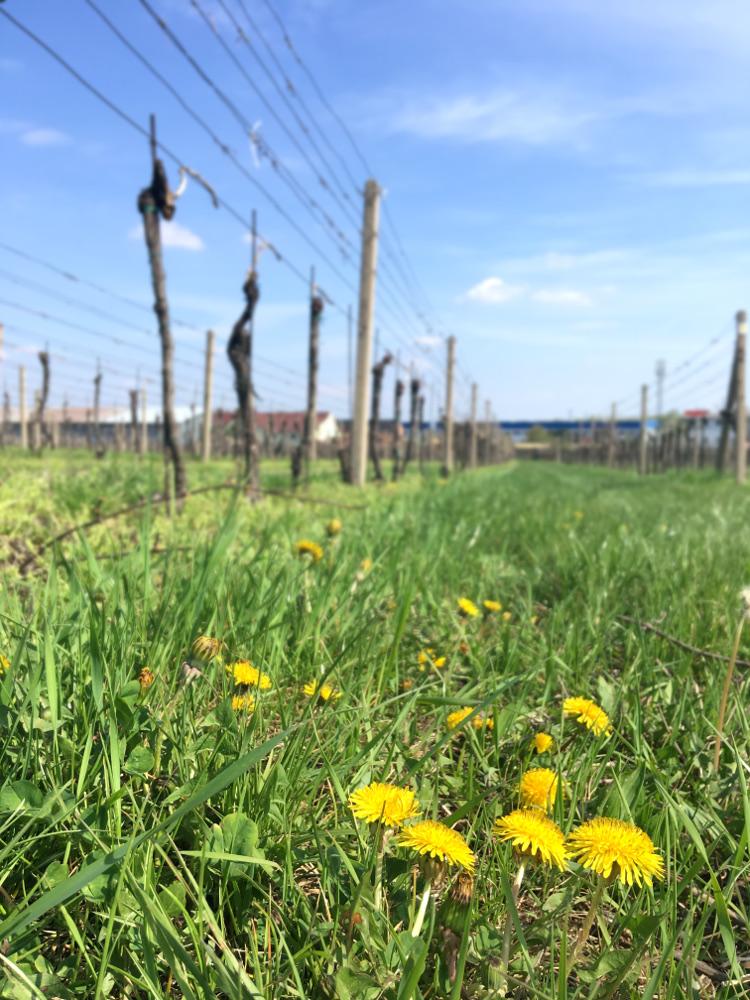 Svätojurský MTB maratón 2019 - trasa: vinohrady, záverečný zjazd