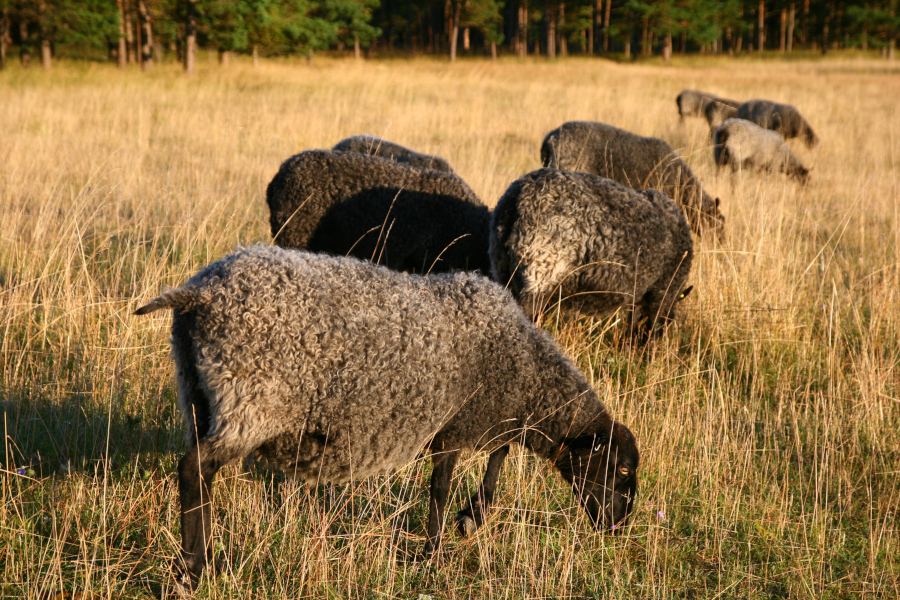 Čierne ovce na Gotlande
